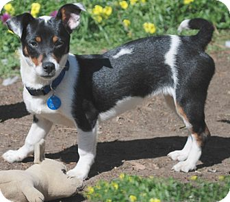Jack Russell Terrier/Parson Russell Terrier Mix Puppy for adoption in San Francisco, California - Vikki