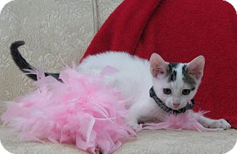 Domestic Shorthair Kitten for adoption in Riverview, Florida - Canoli
