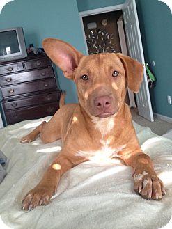 Dachshund/Corgi Mix Dog for adoption in KITTERY, Maine - SOPHIE