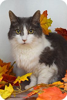 Domestic Mediumhair Cat for adoption in Dublin, California - Sage