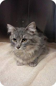 Maine Coon Kitten for adoption in Fremont, Nebraska - Faith