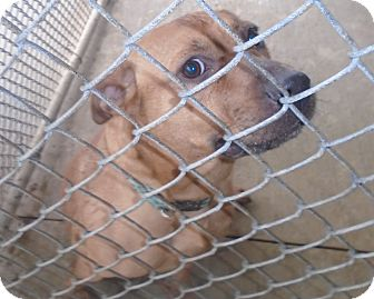 Shepherd (Unknown Type)/Pit Bull Terrier Mix Dog for adoption in Somerset, Pennsylvania - Carly Jo