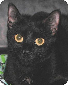 Domestic Shorthair Cat for adoption in Tulsa, Oklahoma - Sonia