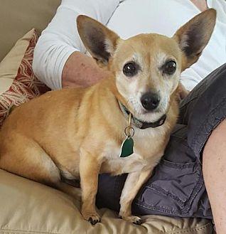 Chihuahua/Dachshund Mix Dog for adoption in Taunton, Massachusetts - Kaya