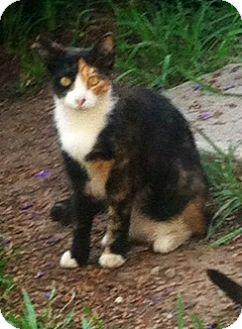 Calico Cat for adoption in Encino, California - cami