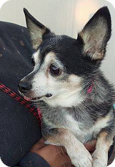 Chihuahua Mix Dog for adoption in Las Vegas, Nevada - Edward