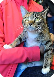 Domestic Shorthair Cat for adoption in Houston, Texas - Hazel