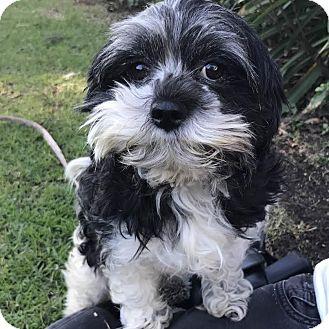 Shih Tzu Mix Dog for adoption in Los Angeles, California - MR. MIYAGI
