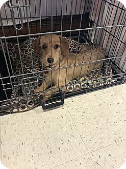 Dachshund/Terrier (Unknown Type, Small) Mix Puppy for adoption in Houston, Texas - Rosie