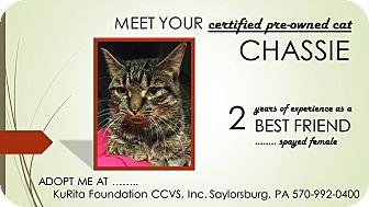 Domestic Shorthair Cat for adoption in Saylorsburg, Pennsylvania - Chassie