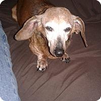 Dachshund Dog for adoption in Palm Bay, Florida - Mitzy *Senior To Senior Progra