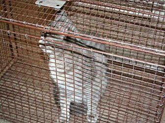 Domestic Mediumhair Cat for adoption in Aurora, Illinois - SKY
