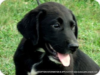 Spaniel (Unknown Type)/Labrador Retriever Mix Puppy for adoption in Waterbury, Connecticut - Alvin/ADOPTED