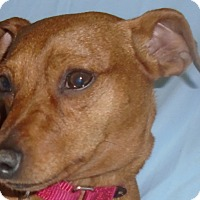Adopt A Pet :: Wee Man - Chesterfield, MO