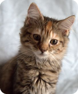 Maine Coon Kitten for adoption in Allentown, Pennsylvania - Mary