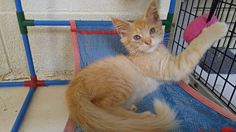 Domestic Longhair Kitten for adoption in Bryson City, North Carolina - Fisher