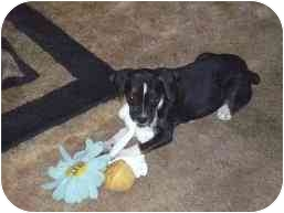 Boston Terrier/Beagle Mix Puppy for adoption in Wauseon, Ohio - Charolette