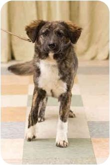 Australian Shepherd Mix Puppy for adoption in Portland, Oregon - Flower