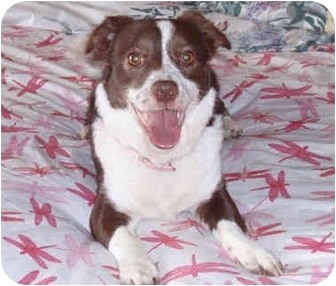 Corgi/Border Collie Mix Dog for adoption in San Clemente, California - OSA