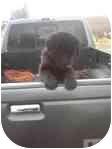 Labrador Retriever Mix Puppy for adoption in Yakima, Washington - Telly