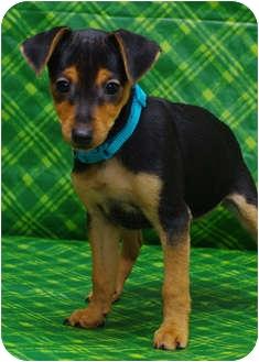 Miniature Pinscher/Dachshund Mix Puppy for adoption in Westminster, Colorado - CEZANNE