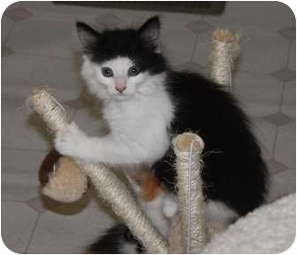 Domestic Longhair Kitten for adoption in Union, Kentucky - Luna