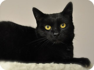 Polydactyl/Hemingway Cat for adoption in Great Falls, Montana - Nora