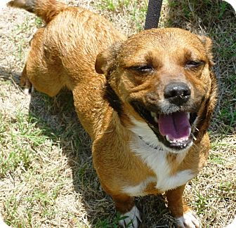 Dachshund/Corgi Mix Dog for adoption in Everman, Texas - Princess