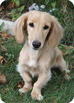 Dachshund Dog for adoption in Wichita, Kansas - Darby