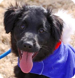 Retriever (Unknown Type)/Labrador Retriever Mix Puppy for adoption in Olive Branch, Mississippi - Gucci-a Home 4 the Holidays!