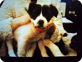 Border Collie Mix Puppy for adoption in BLACKWELL, Oklahoma - GARY