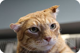 Domestic Shorthair Cat for adoption in Forked River, New Jersey - Punky