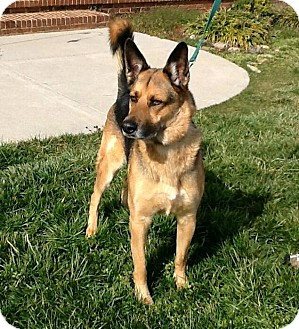 German Shepherd Dog Dog for adoption in Knoxville, Tennessee - Koda