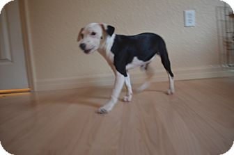 Terrier (Unknown Type, Small) Mix Puppy for adoption in Weeki Wachee, Florida - Adele