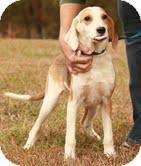 Treeing Walker Coonhound/Sheltie, Shetland Sheepdog Mix Dog for adoption in Hagerstown, Maryland - Gatsby ($300)
