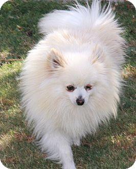 Pomeranian Mix Dog for adoption in Gilbert, Arizona - William
