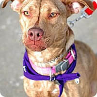 Adopt A Pet :: Eve-Emergency foster needed!! - Detroit, MI