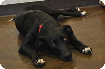 Labrador Retriever/Shepherd (Unknown Type) Mix Dog for adoption in Redding, Connecticut - Phoebe