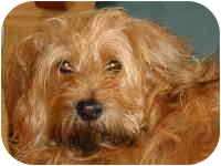 Tibetan Terrier/Wheaten Terrier Mix Dog for adoption in Encino, California - SUSIE/Pending