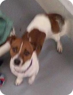 Jack Russell Terrier Mix Dog for adoption in Adrian, Michigan - Toby