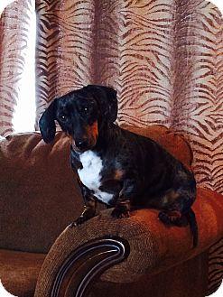 Dachshund Dog for adoption in Louisville, Colorado - Bentley