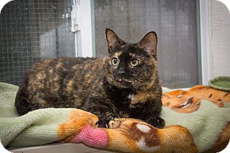Domestic Shorthair Cat for adoption in Chicago, Illinois - Gucci