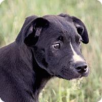 Adopt A Pet :: *Lincoln - PENDING - Westport, CT