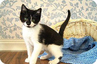 Domestic Shorthair Cat for adoption in Detroit Lakes, Minnesota - B.J.