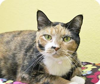 Domestic Shorthair Cat for adoption in Benbrook, Texas - Sable