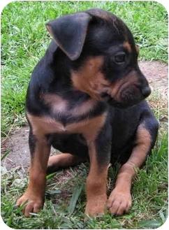 American Pit Bull Terrier/Boxer Mix Puppy for adoption in Corona del Mar, California - Jade