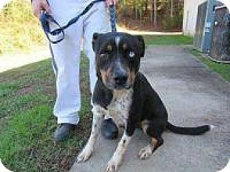Husky/Blue Heeler Mix Dog for adoption in Laingsburg, Michigan - Einstein