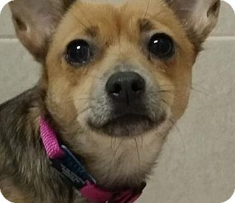 Chihuahua Mix Dog for adoption in Philadelphia, Pennsylvania - Tenny