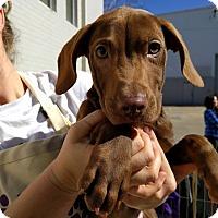 Adopt A Pet :: Boone - Houston, TX