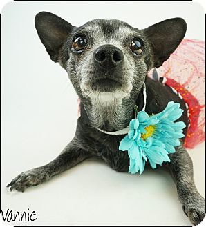 Chihuahua/Terrier (Unknown Type, Small) Mix Dog for adoption in Phoenix, Arizona - Vannie